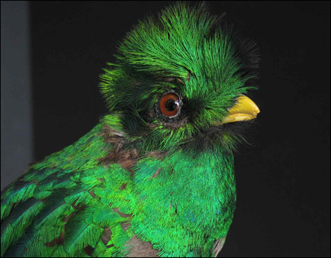 MG_Resplendent-QuetzalLangu.jpg