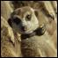 061020_meerkats-List